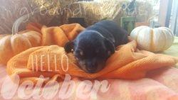 Precious X Snickers Male puppy