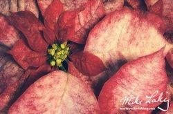 Nochebuena (Poinsettia) #8
