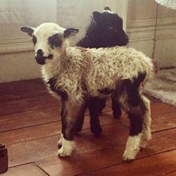 Finnish Landrace Ram Lamb