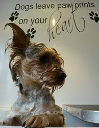 Alfie Waller - Yorkshire Terrier