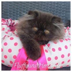 Fluffykins Hershette