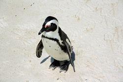 Penguin on beach near Cape Town