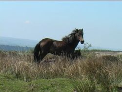 exmoor stallion