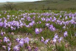 flor de Canela de ema ( Vellozia sp )