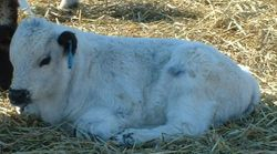 Commercial Speckle Park bull calf