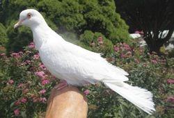 White Silky male