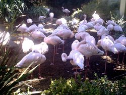 California Flamingos