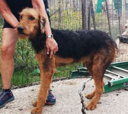 Oorang Gavin:  $845 after neuter binder rebate, $1495 full AKC registration, Giant Airedale Terrier, male, born 3-5-17 to Gigi and Buddy