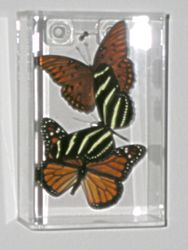 North American butterfly trio