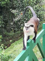 Adul male mona monkey in Grand Etang National Park (Dec. 2019)