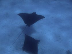 Eagle rays at Sandy Cay