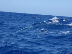 Pilot whale alongside