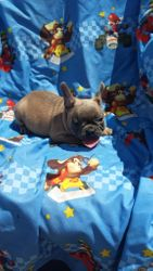 Beau:  $2995 companion, $3495 full AKC with Breeding Rights, French Bulldog male pup born 4-15-17 to Berry Pie and Geronimo