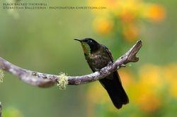 Black-backed thornbill - Ramphomicron dorsale