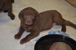 Our lightest chocolate female which is also our largest