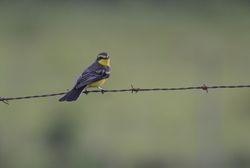 Yellow-browed Tyrant