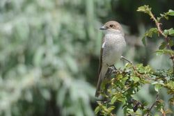 Red-backed Shrike  -  PIE-GRIECHE ECORCHEUR