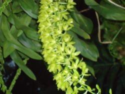 Orquídea esp