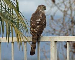 Cooper's Hawk (j)