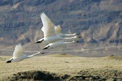 Wilde zwanen die net wegvliegen