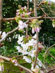 Weeping Cherry - First Blooms  Spring 2013