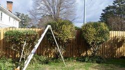 Pruning Privet bushes