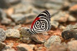 Borboleta Oitenta e oito ( Diaethria clymena )