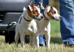 Smooth Coated Jack Russell Terrier.
