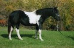 MJM Queen of Hearts- 2007 NASDHA filly