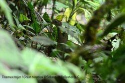 Great tinamou