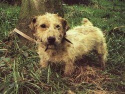 Working Sealyham Terrier.