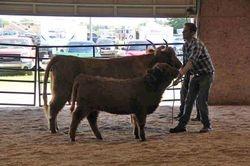 Cow/Calf Grand CHampion