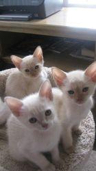 KatsMists kittens 2016