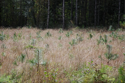 Willamette Valley Ponderosa Pine by Steve Webster