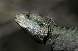 Eastern Water Dragon 2
