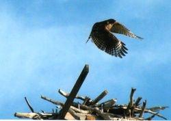 Osprey (by Dale)