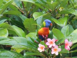 Lorikeet in the Frangipani's