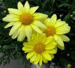 Yellow Daisies & Rain