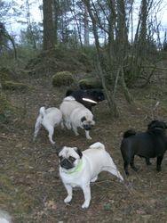 Hundene i skogen 30.01.2011