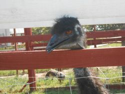 hungry emu !!