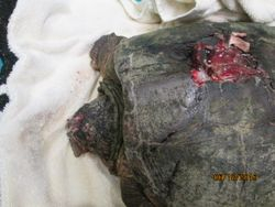 Snapping turtle - shell lesion