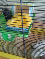 Lilly and Maisy the Gerbils