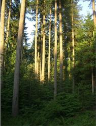 Stately Douglas-fir by Steve Webster