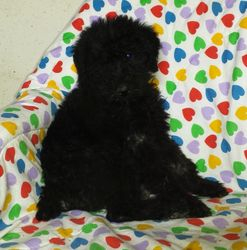 PEARL: $1495 DEAL, Female, Black, Airedoodle, born 3-10-16 to Female Giant Airedale Terrier and white Standard Poodle, 2 year health, vet exam, lifetime microchip, utd vaccs and wormings, home raised, care guidance with lifetime support