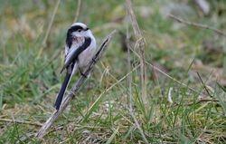Long-tailed Tit   (MESANGE A LONGE QUEUE)