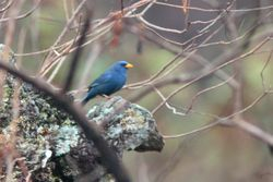 Campainha-azul ( Porphyrospiza caerulescens )