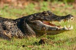 Jacare do Pantanal ( Caiman crocodilus yacare )