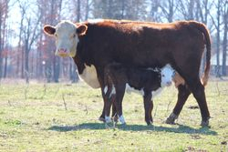 P606 Heifer Calf