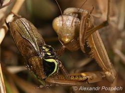 Kudlanka nábozná (Mantis religiosa), female eating grashopper