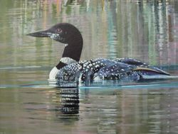 North American Loon